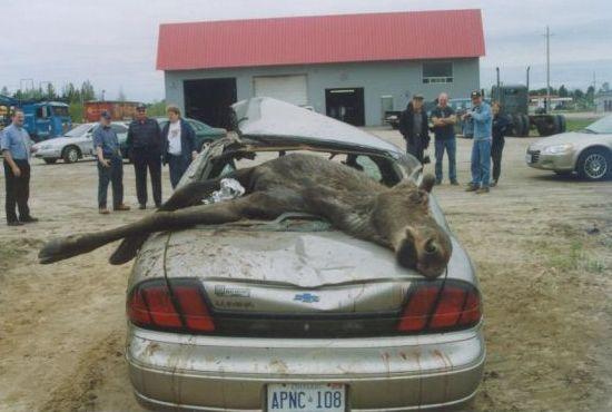 Moose Vs Car